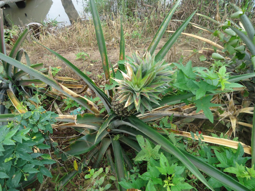 Mekong Delta pictures: Pineapple