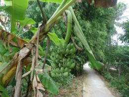 Mekong Delta pictures: Bananas