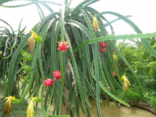 Mekong Delta pictures: Dragon Fruit