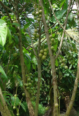 Mekong Delta pictures: Limes