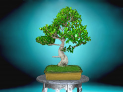 How to Prune a Bonsai