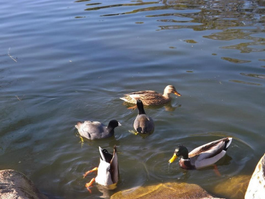 Ducks and their antics