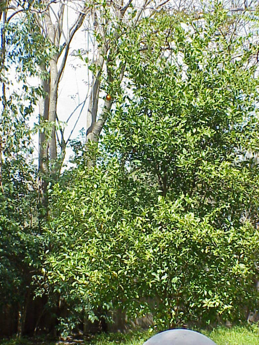"The top part of the Satsuma orange tree. You can probably see that there are two ""leftover"" oranges still hanging on after last year's crop was harvested. (Spot one of the oranges in the upper left quadrant of the photo)"