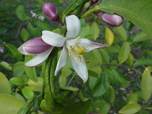 Those lemon fruits may be smaller, but the blossoms seem to be much bigger than are the flowers on the orange trees