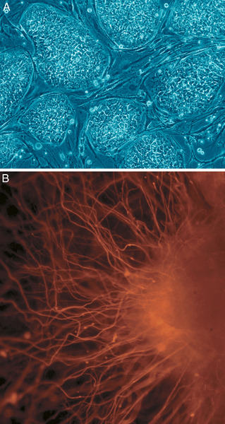 A: Embryonic Stem Cells B: Neurons derived from human embryonic stem cells.