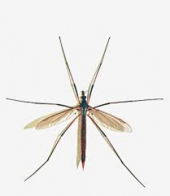 Crane Flies: Harmless Bugs With a Bad Rap