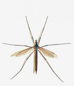 """Crane fly: insect family Tipulidae-  It is often referred to as """"daddy long legs.""""  note: 'daddy long legs"""" also refers to two different species of arachnids: opiliones """"harvestmen"""" and pholcidae """"cellar spiders."""""""