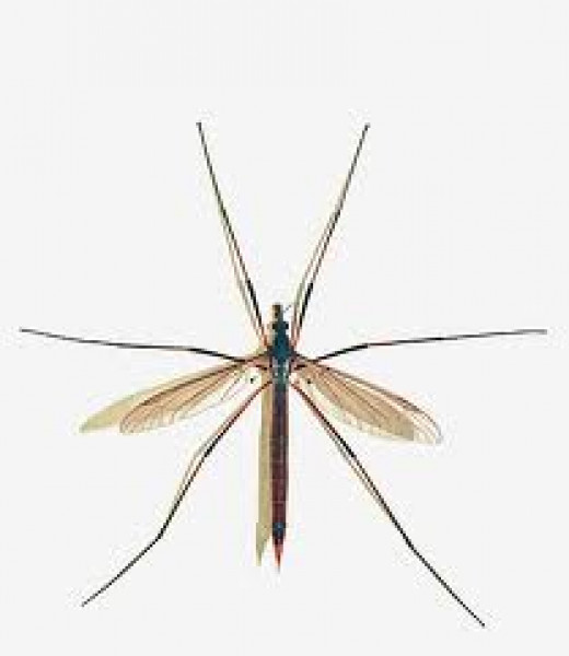 "Crane fly—insect family Tipulidae—is often referred to as ""daddy long legs,""  a term that also refers to two different species of arachnids: opiliones ""harvestmen"" and pholcidae ""cellar spiders."""