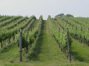 Fork Vineyards on Long Island, NY