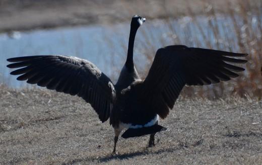 Canada Goose just landing