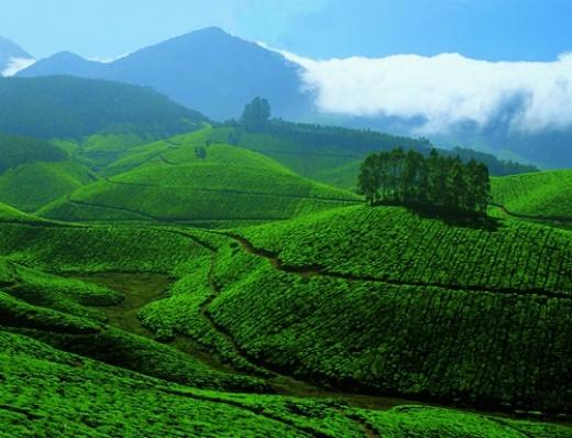 Tea garden in Devikulam, Munnar
