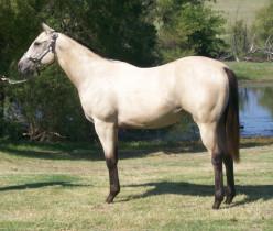 Quarter Horse info