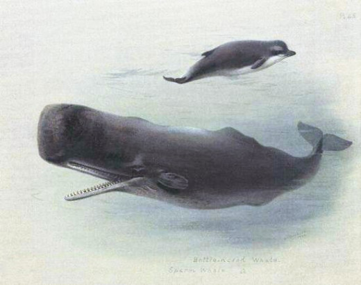 """""""Sperm whale and Bottlenose whale"""",               Archibald Thorburn (1860-1935)"""