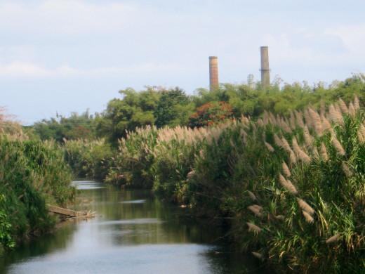 Old Sugar Cane