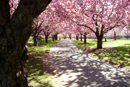 The Cherry Esplanade is a section of Prospect Park, in which we find Park Slope, that is under ongoing conservation and refurbishing.