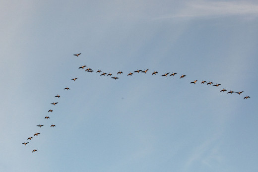 Geese fly in a 'V' formation to save energy and speed their journey.