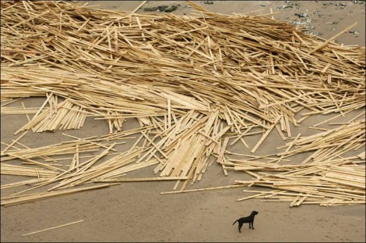 A dog stands near timber on a beach in Ramsgate, south eastern England. Approximately 1,500 tonnes of the wood was lost from the Russian-registered cargo ship Sinegorsk on Monday 19 Jan 2009. (Picture from the BBC News website)