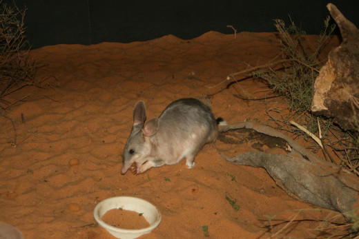 A  BILBY to represent Easter
