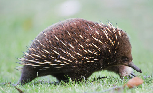 The short beaked echidna is one of five species that are endemic to the Australasian region.