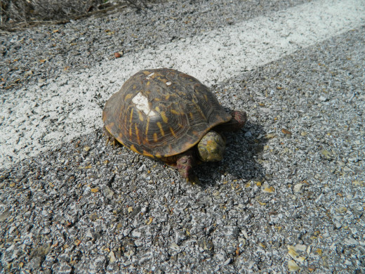 Awww, little sleepy turtle in the road!