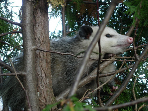 The Virginia Opossum is the only marsupial to have successfully colonised North America.