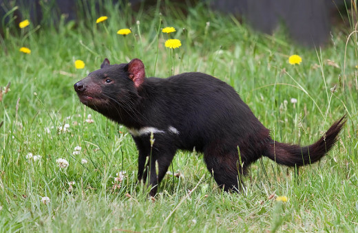 The Tasmanian devil is the largest native carnivore and was once found right across Australia, but as the name suggests it's now confined to Tasmania