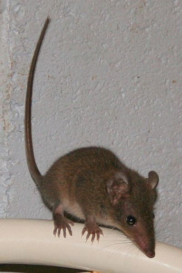 Despite resembling a European house mouse, the brown antechinus is very much a member of the marsupial order.
