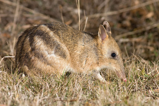 Like many of Australia's native mammals, the Eastern-barred bandicoot is vulnerable to extinction, with just a few hundred surviving on the mainland and Tasmania.