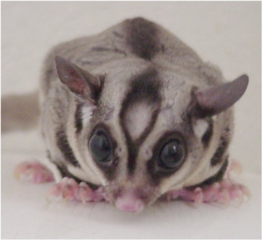 The bald spot on the male sugar glider's forehead is a scent gland, while its large eyes serve as an indicator of its nocturnal nature.