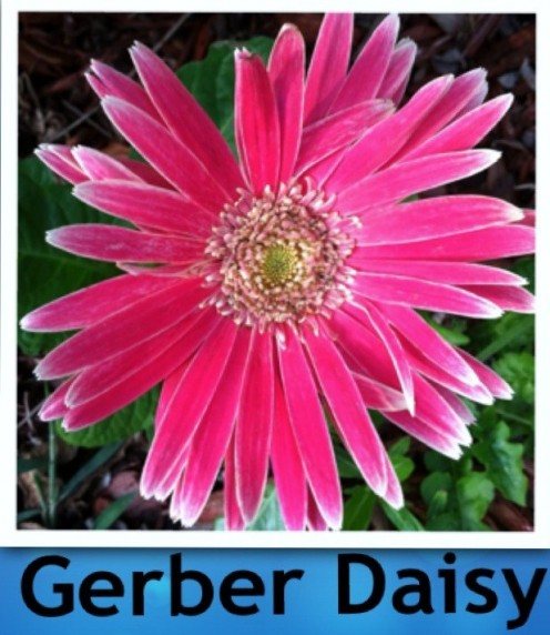 10 years ago we planted 4 gerber daisies. These versatile flowers have survived hurricanes, droughts, Floridian winter freezes and excessive rain storms. We have 3 daisies remaining as of Spring 2013.