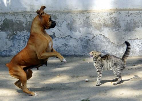 A Dog Charging a Cat