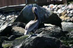 Two Pelicans,a Cormorant and a Sea Gull on San Francisco Bay    deedsphotos
