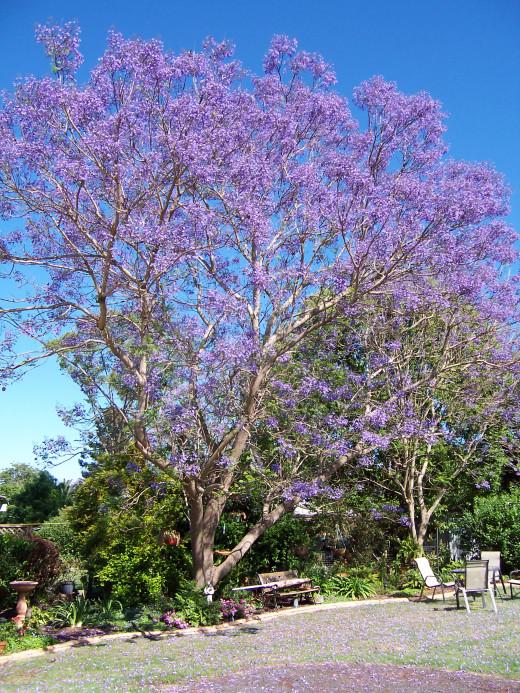Jacaranda tree in a suburban backyard. Kingaroy, Australia