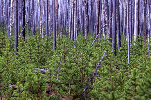 Lodgepole pine forests, a decade after the 1988 Yellowstone fires. Photo by the National Park Service.