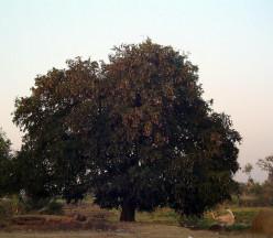 Hay varios árboles considerados como Kalpavrikshas todo alrededor de la India - el baobab, la higuera de Bengala o en este caso, el tamarindo.