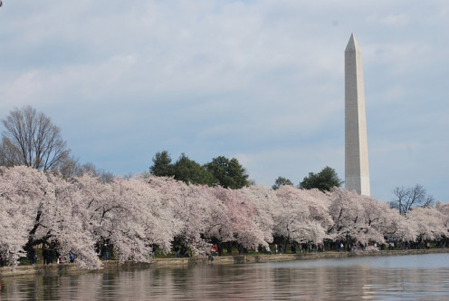 Cherry Blossom time in DC.