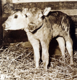 Spotty's Two-Headed Calf