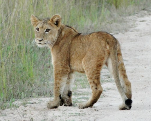 Young Lion in Kruger