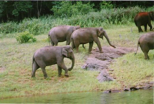 Mudumalia - Elephant herd