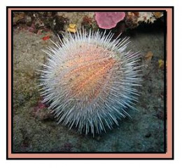 Sea urchins are beatiful to look at, but their spines can be quite painful.