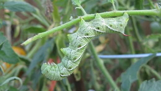 Tomato Worm or Tomato Hornworm