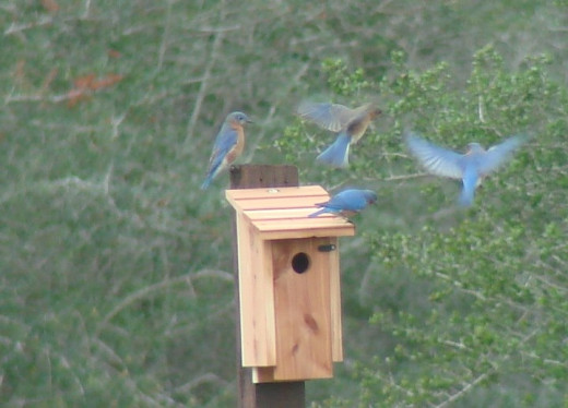 A popular nest box gets the attention of several bluebirds.