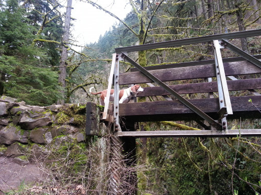 A brave TrailDog getting ready to cross the wood bridge.