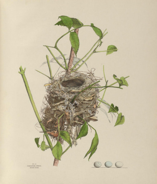 The Illustration was taken from a nest in an elder bush 28 May 1877
