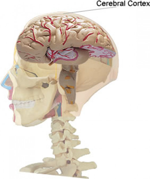 The brain where embolisms can occur - usually called a stroke.