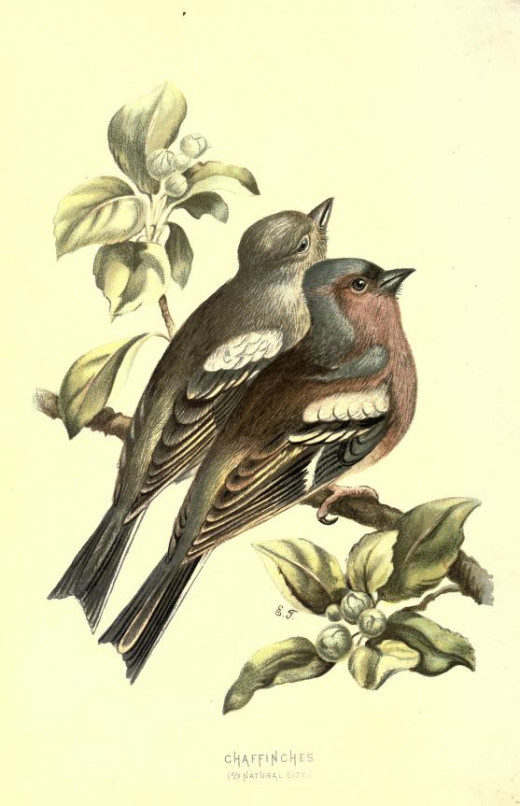 From the book familiar wild birds {1800's}