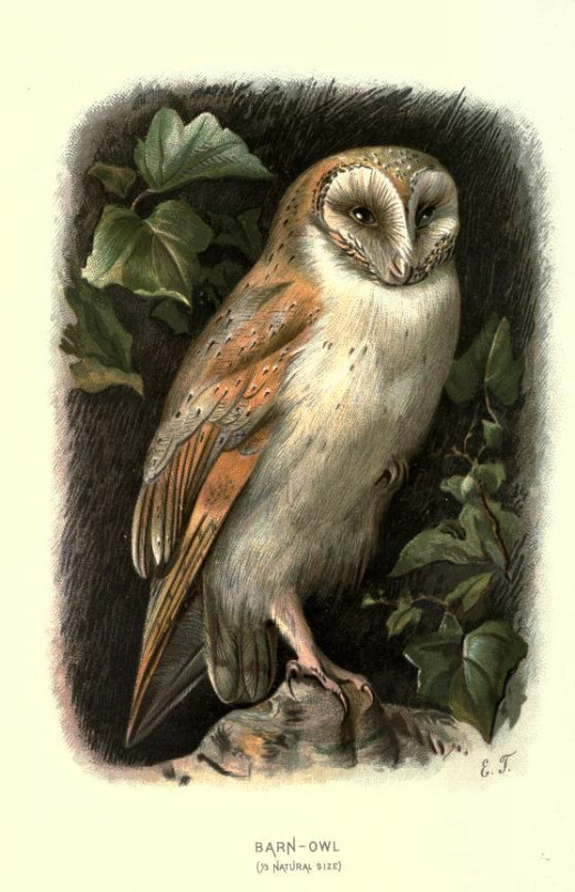 Familiar wild birds {1800's}