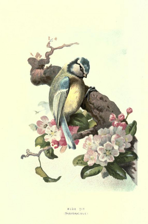 Familiar Wild Birds {1800's}