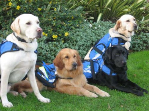 Service dogs trained to assist children with Autism and Aspergers Syndrome