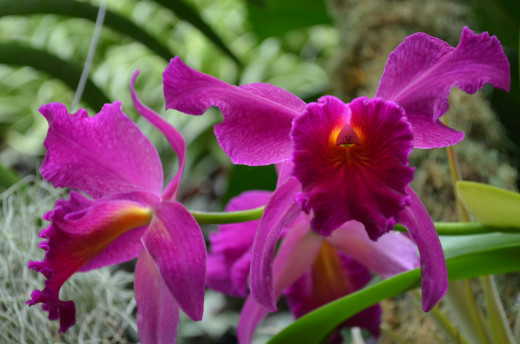 Rich magenta or purple orchids. One of my favorite things to do is to take photos of these beautiful orchids!  They truly amaze me.